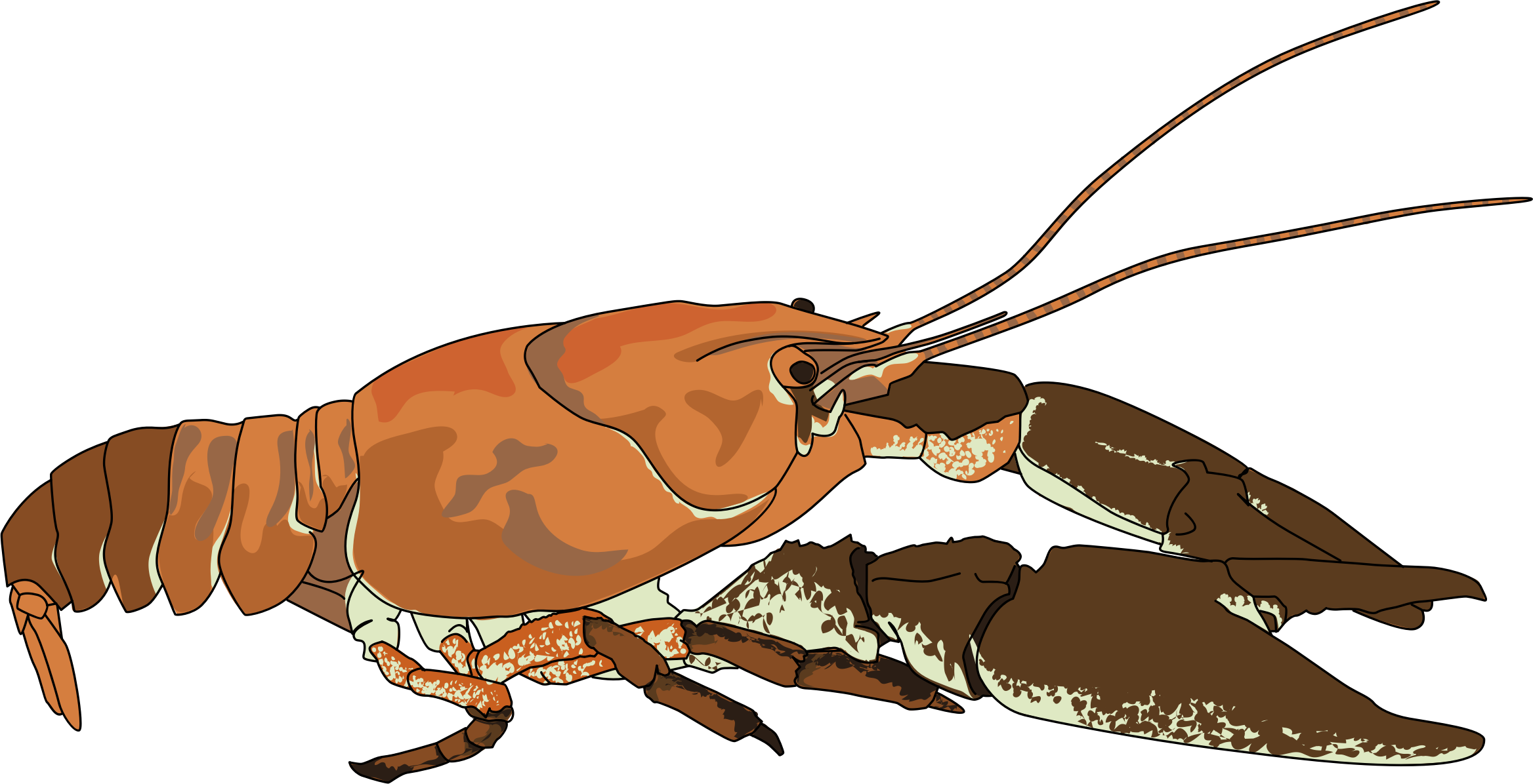 Omnivore fish clipart clipart royalty free library Off the Scale magazine - white-clawed crayfish and crayfish plague clipart royalty free library