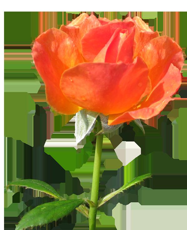 Orange flower border clipart picture royalty free download Rose Clipart picture royalty free download