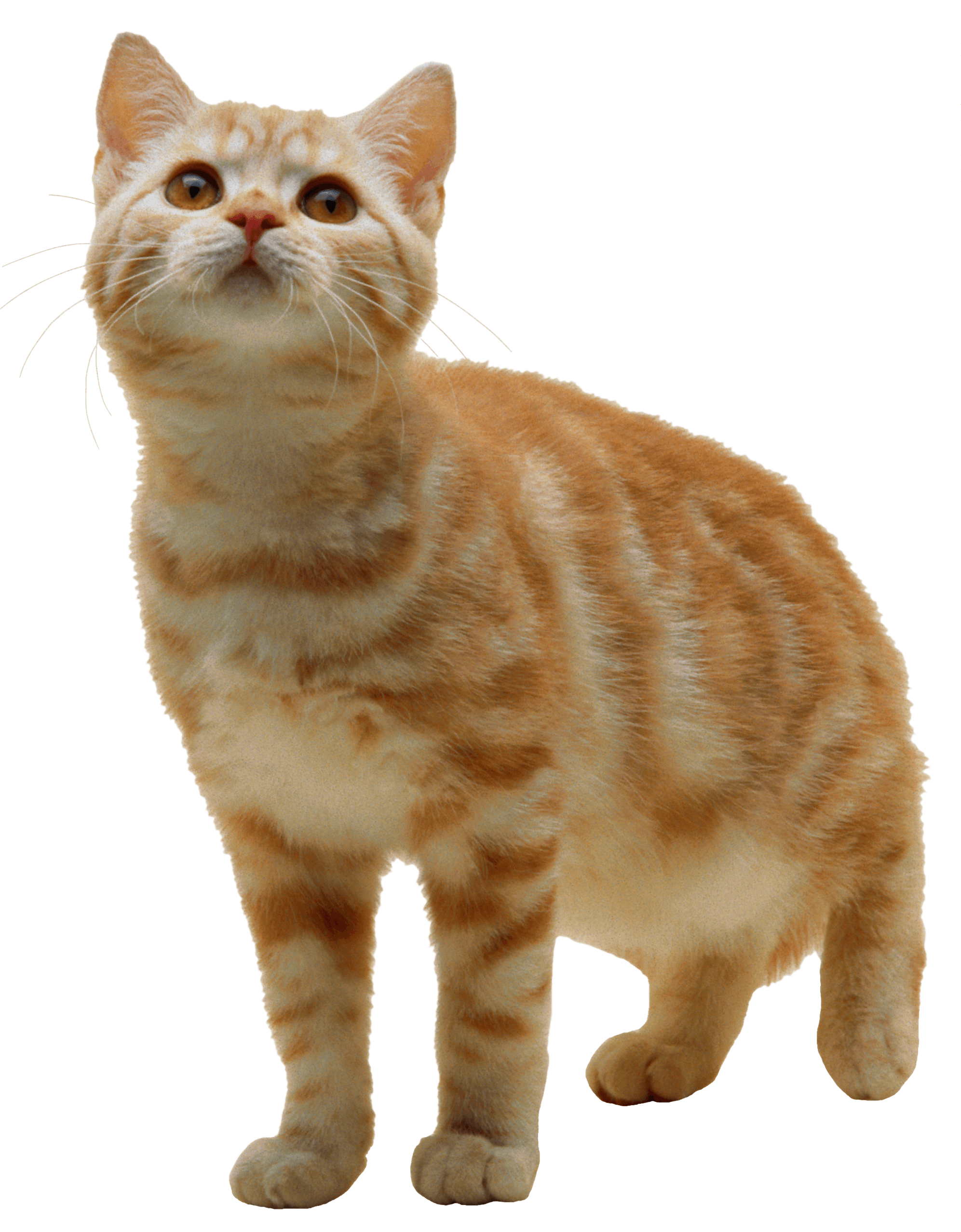Orange tabby cat clipart banner download Cats png free images, download banner download