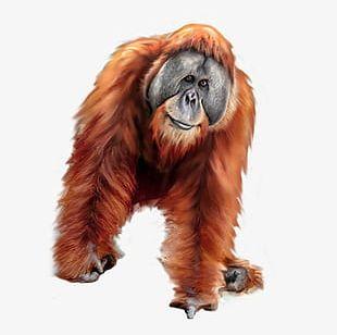 Orangutan clipart free png royalty free download Orangutan Clipart PNG Images, Orangutan Clipart Clipart Free Download png royalty free download