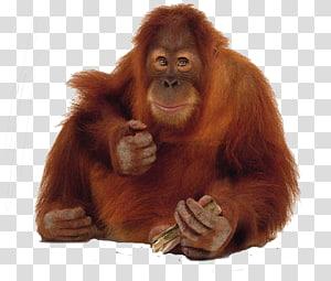 Orangutan clipart free png library download Free download | Orangutan transparent background PNG clipart | HiClipart png library download