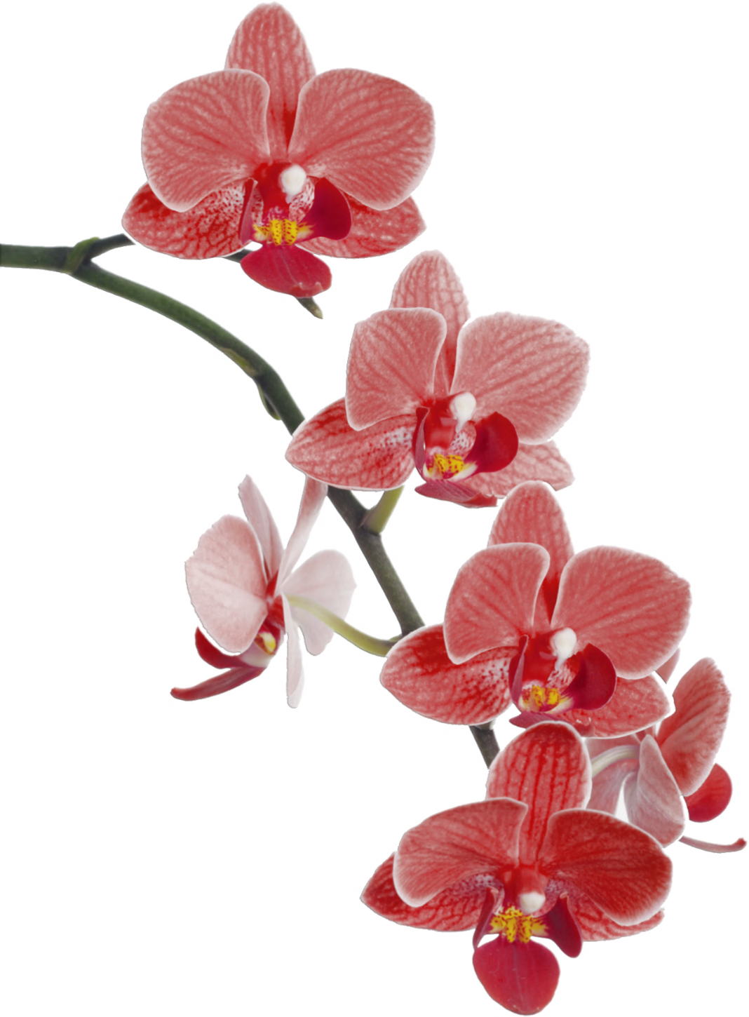 Orchid flower clipart png download Imágenes para imprimir-Free Printables   Pinterest   Orchid and Flowers png download