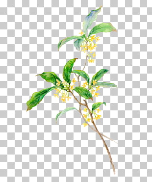Osmanthus clipart clip art royalty free library 238 osmanthus PNG cliparts for free download | UIHere clip art royalty free library