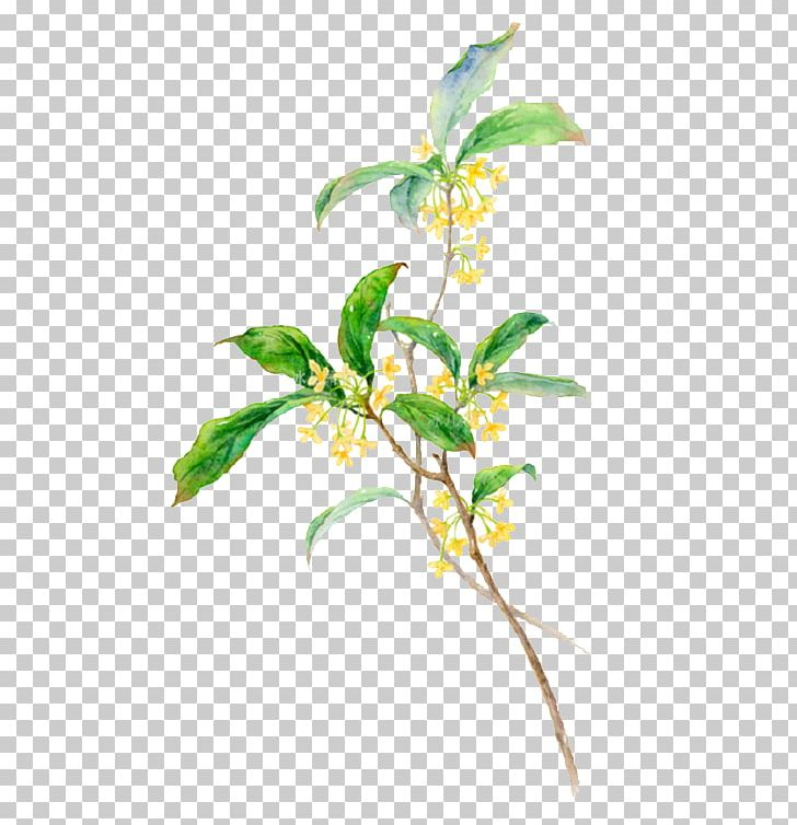 Osmanthus clipart black and white Sweet Osmanthus PNG, Clipart, Branch, Cartoon, Cut Flowers ... black and white