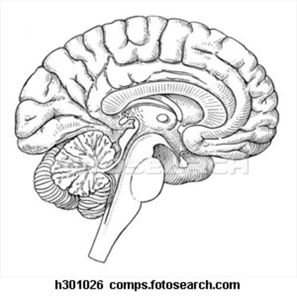 Outline of side of brain and brainstem clipart clip free blank-brain-diagram-54.jpg - Clip Art Library clip free
