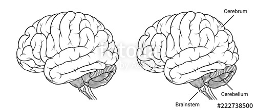 Outline of side of brain and brainstem clipart clip transparent download Human brain anatomy Side view outline\