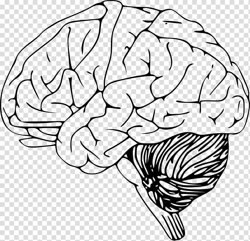 Outline of side of brain and brainstem clipart free download Human brain illustration, Outline of the human brain , Human ... free download