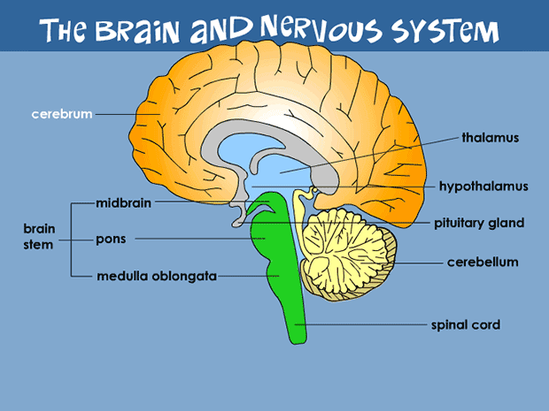 Outline of side of brain and brainstem clipart free library Brain and Nervous System (for Teens) - KidsHealth free library