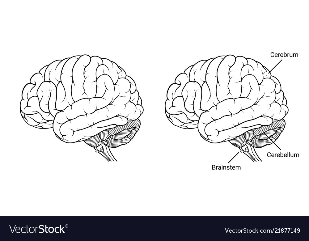 Outline of side of brain and brainstem clipart svg freeuse Human brain anatomy side view outline vector image svg freeuse