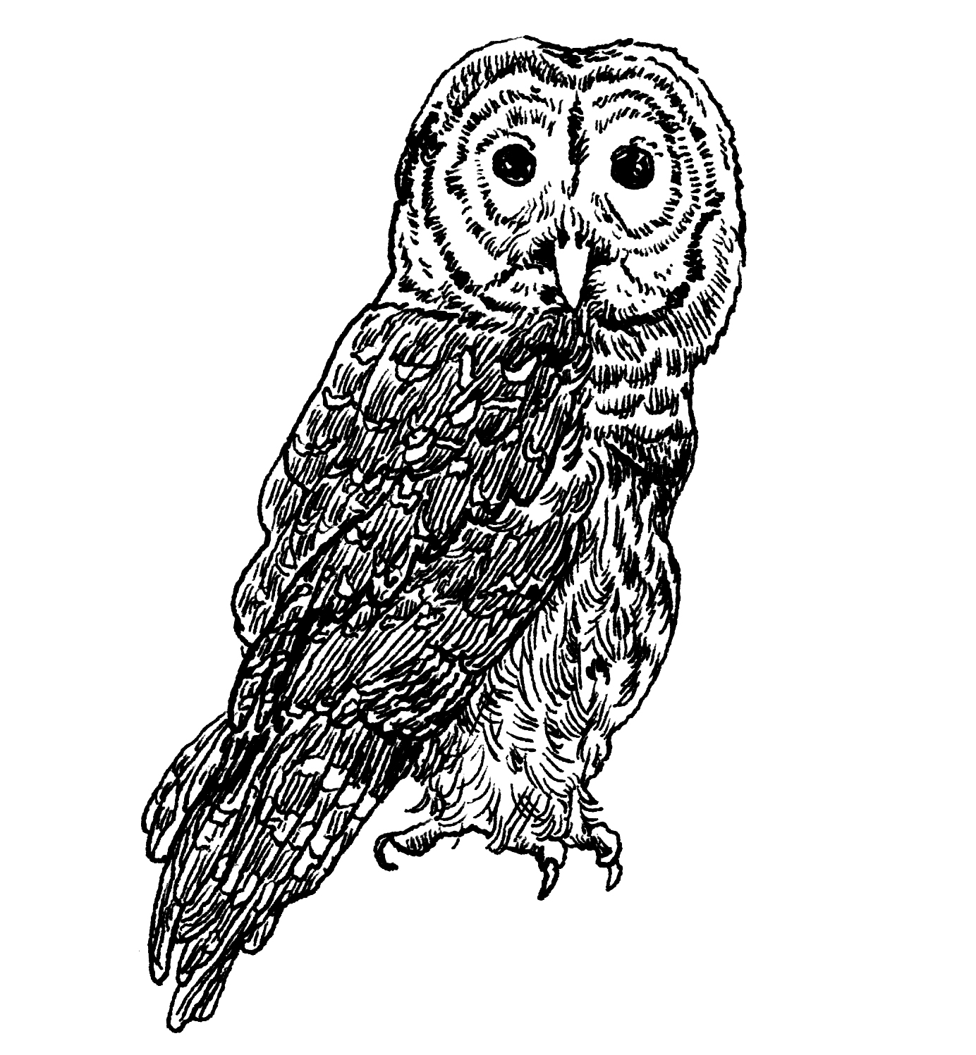 Owl at night black and white clipart vector royalty free library The Barred Owl | Audubon vector royalty free library