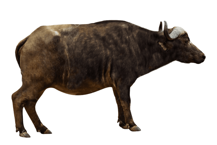Oxen bull clipart png transparent clip freeuse stock Ox Animal PNG Transparent Images | PNG All clip freeuse stock