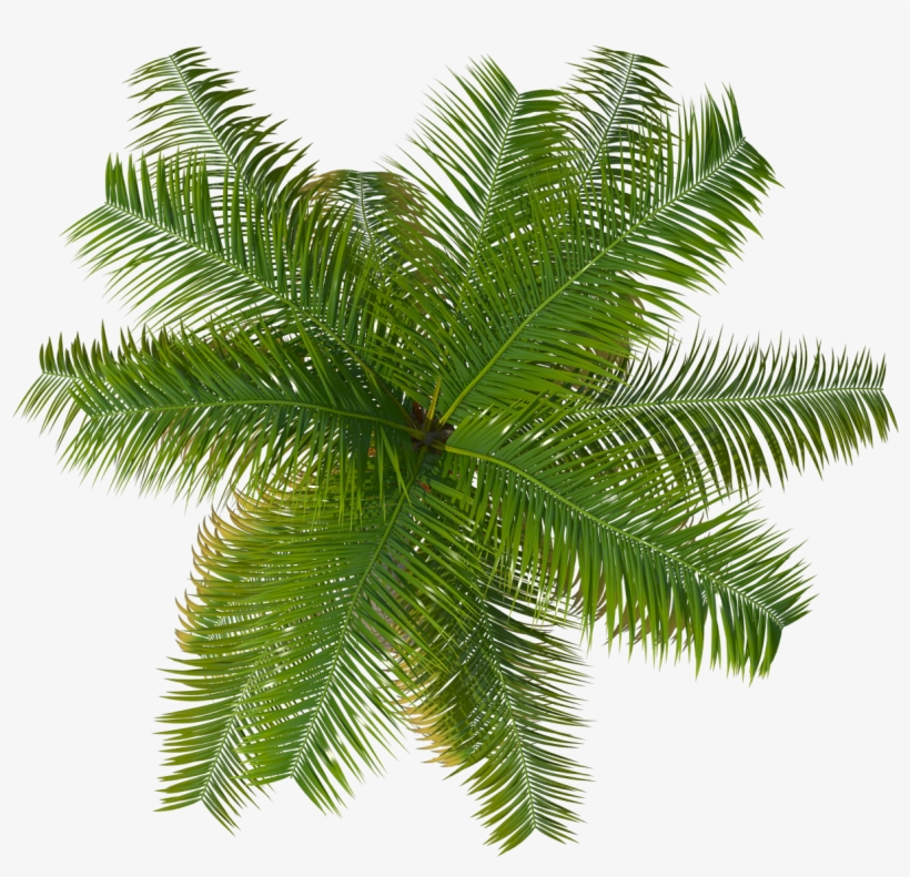 Palm tree plan clipart graphic free library Palm Tree Top Png Image - Palm Tree Top View Png PNG Image ... graphic free library