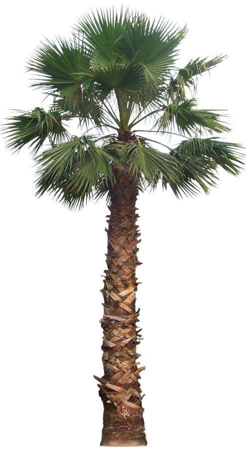 Palm tree water clipart jpg freeuse stock 20 Imágenes de árbol PNG - washingtoniafil02L | Tree | arboles ... jpg freeuse stock