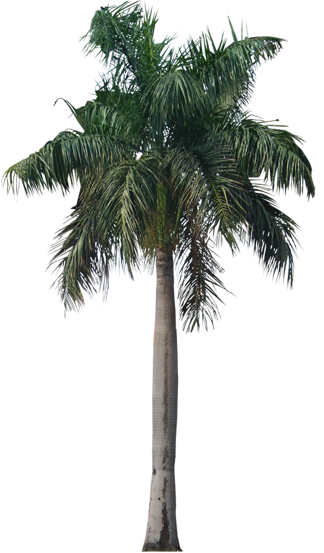 Palmetto tree clipart png freeuse stock Palm Transparent PNG Pictures - Free Icons and PNG Backgrounds png freeuse stock