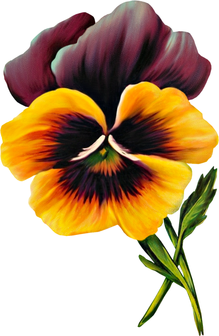 Pansy flower clipart image royalty free stock Free Vintage Pansy Graphic image royalty free stock