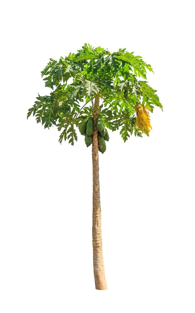 Papaya tree clipart vector royalty free Green papaya salad Cantaloupe Clip art - Green papaya tree 625*1000 ... vector royalty free