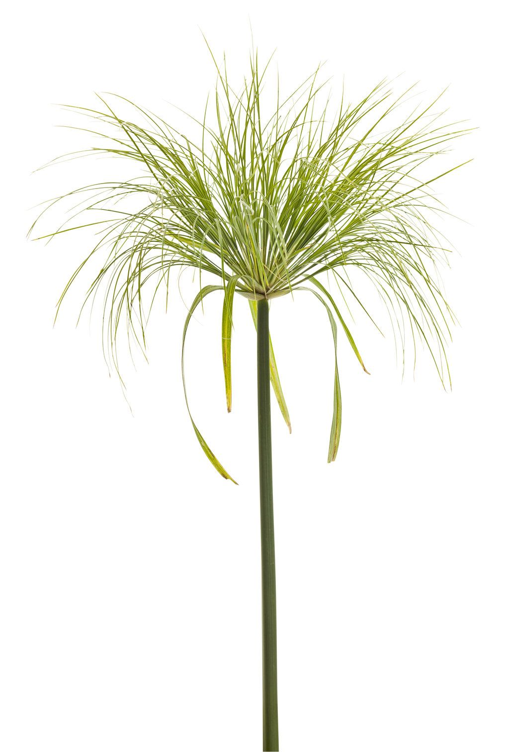 Papyrus plant clipart