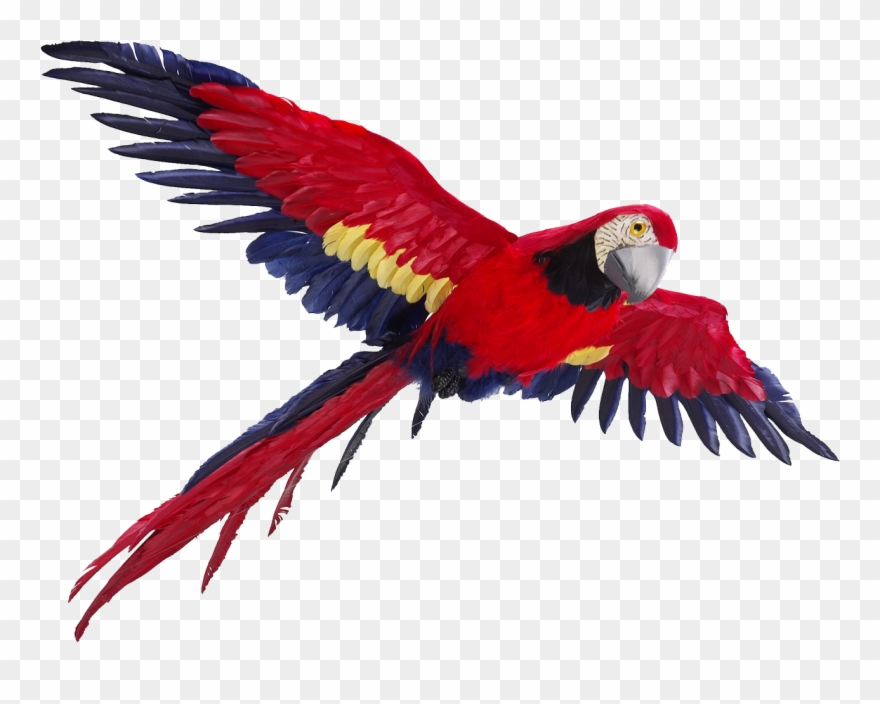 Parrot flying clipart vector freeuse stock Parrot Clipart Picsart Png - Parrot Flying Png Transparent ... vector freeuse stock