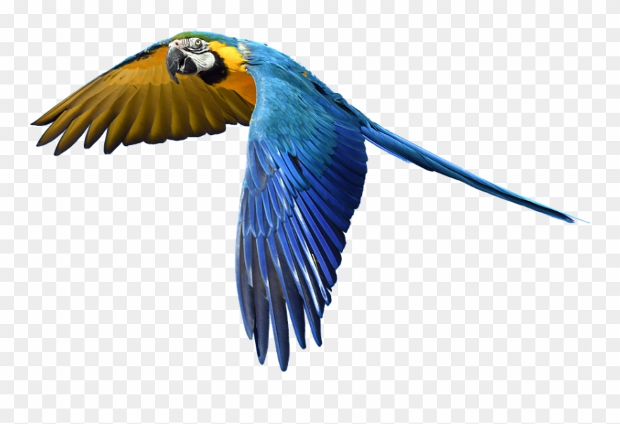 Parrot flying clipart clip free Free Photo Fly Flight Colorful Isolated Parrot - Flying Bird ... clip free
