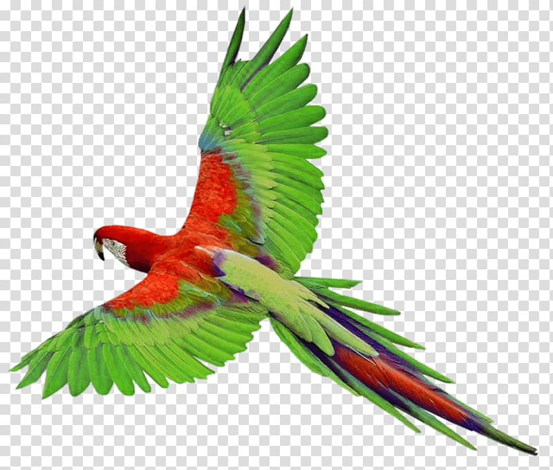 Parrot flying clipart clip free stock Red and green parrot, Parrots of New Guinea Bird , Flying ... clip free stock