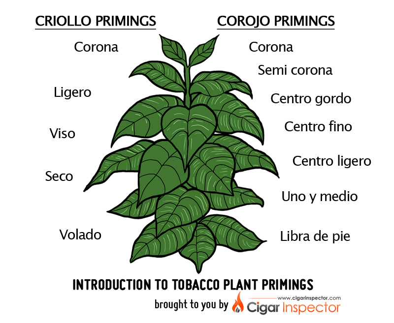 Parts of a flower clipart graphic royalty free Introduction to Tobacco Plant Primings @ Cigar Inspector graphic royalty free