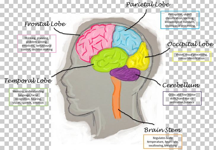 Parts of the brain clipart svg freeuse stock Lobes Of The Brain Human Brain Function Frontal Lobe PNG ... svg freeuse stock