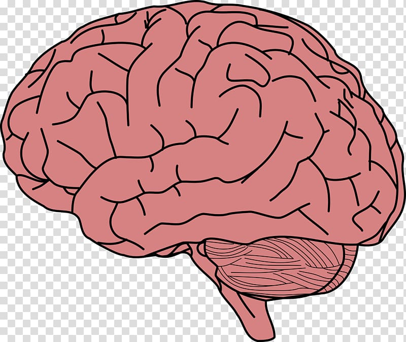 Parts of the brain clipart png freeuse library Brain illustration, Human brain Memory , Brain transparent ... png freeuse library