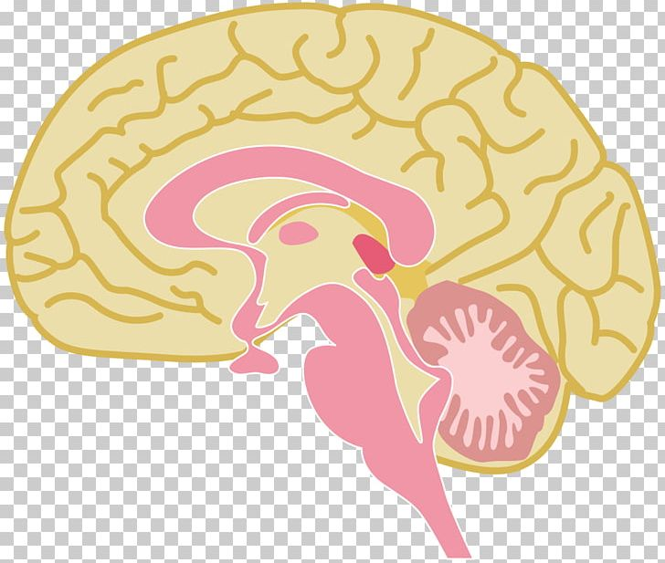Parts of the brain clipart vector library Human Brain Graphics Drawing PNG, Clipart, Brain, Central ... vector library