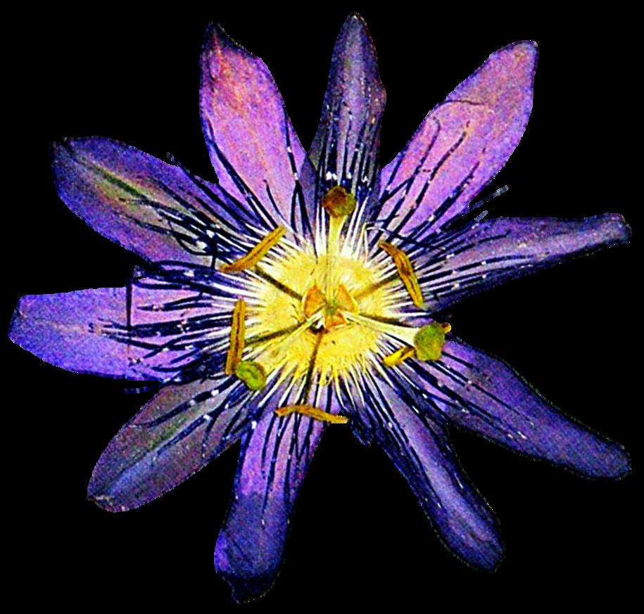 Passion flower clipart clip art Pressed Passion Flower by jeanicebartzen27 on DeviantArt clip art