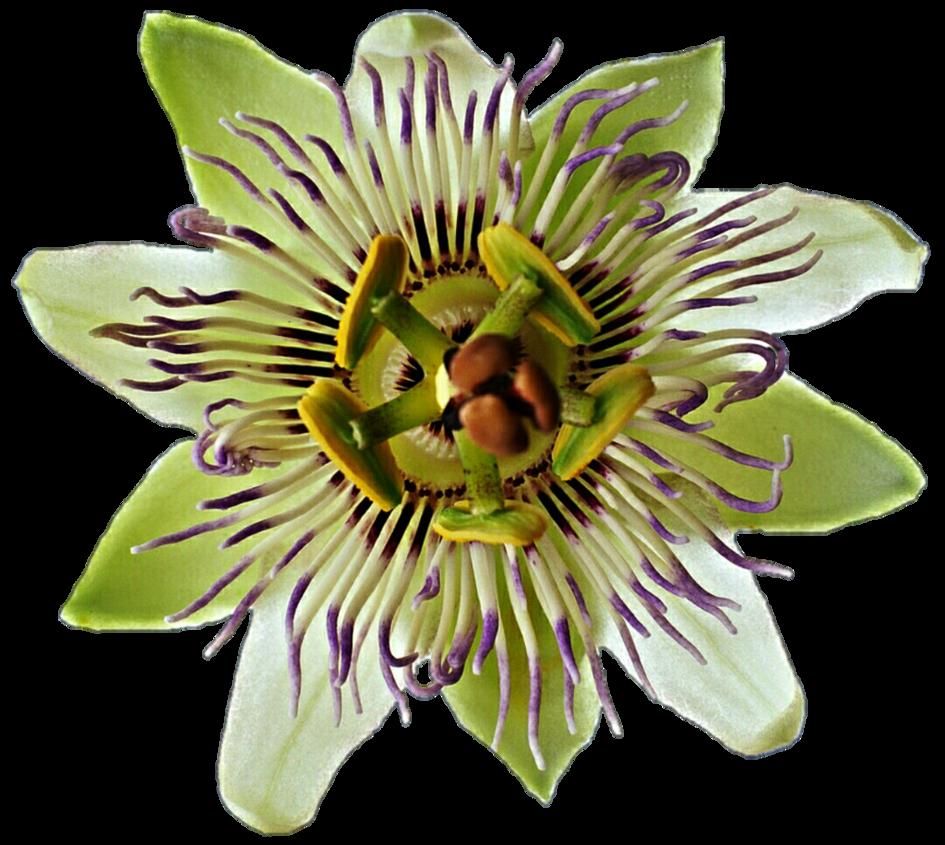 Passion flower clipart clip art Green Passion Flower by jeanicebartzen27 on DeviantArt clip art