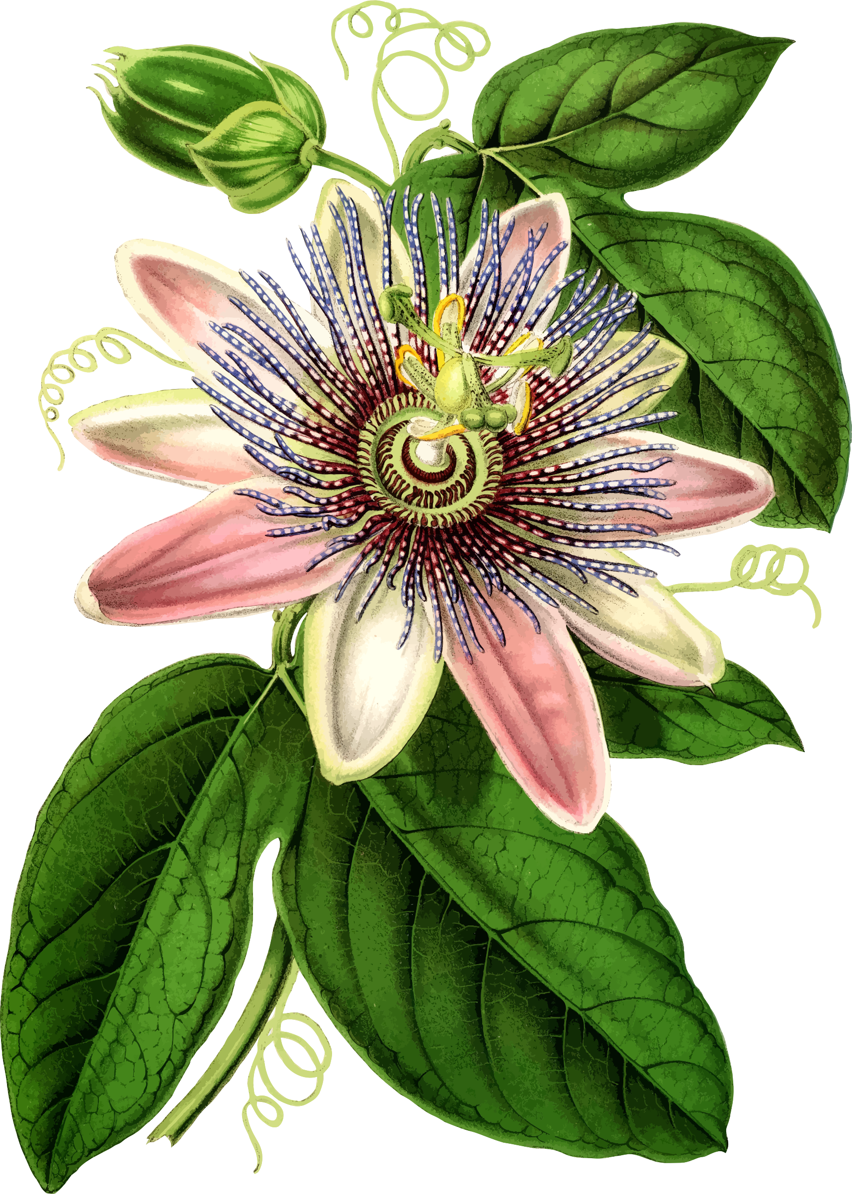 Passion flower clipart vector freeuse Clipart - Passion flower 2 vector freeuse