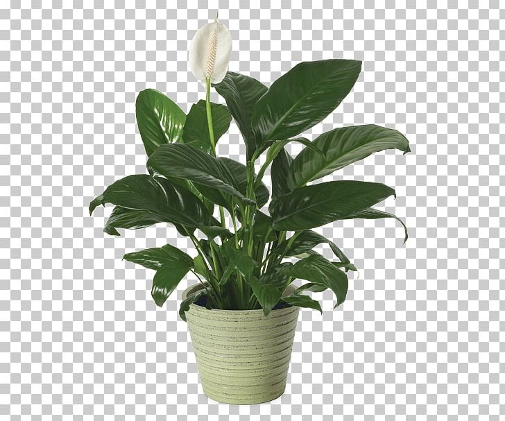 Peace lily clipart graphic freeuse library Peace Lily Cut Flowers Flowerpot Houseplant PNG, Clipart ... graphic freeuse library