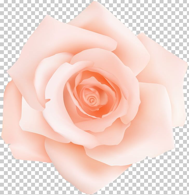 Peach rose clipart clip library download Garden Roses Centifolia Roses Pink Petal Flower PNG, Clipart ... clip library download