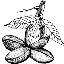 Pecans clipart on a branch black and white png black and white 14 Pecan drawing for free download on Ayoqq.org png black and white