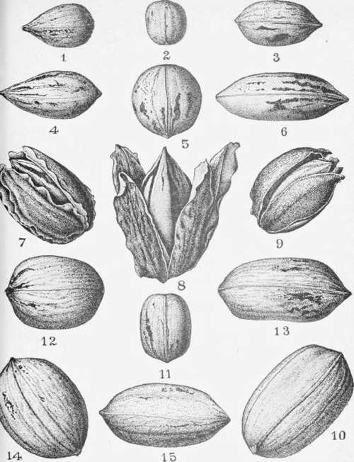 Pecans clipart on a branch black and white jpg transparent stock pecan drawing | Sketchbook | Drawings, Graphite drawings ... jpg transparent stock