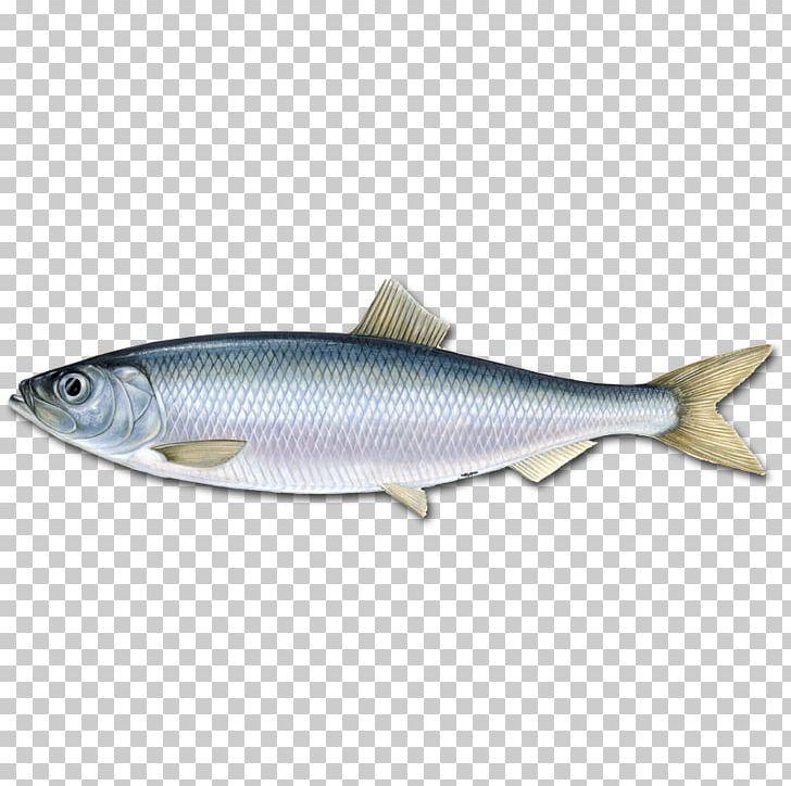 Pelagic fish clipart png black and white stock Atlantic Herring Pelagic Fish Fishery Marine Stewardship Council PNG ... png black and white stock