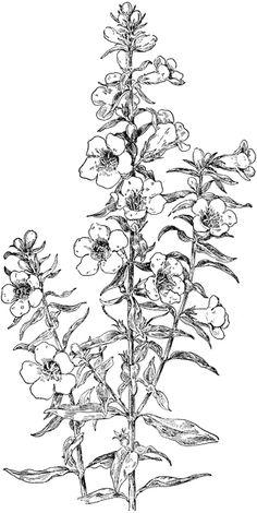 Penstemon clipart freeuse stock 76 Best penstemon images in 2018 | Botanical prints ... freeuse stock