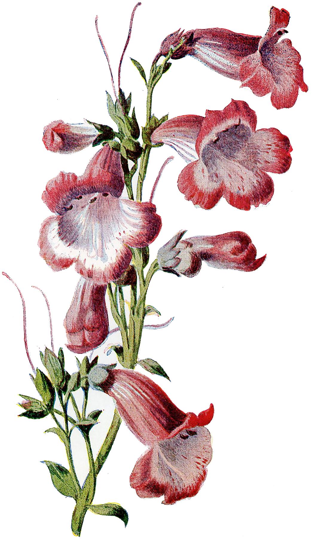 Penstemon clipart clip art library stock 8 Circa 1905 Garden Flower Illustrations - Updated - The ... clip art library stock