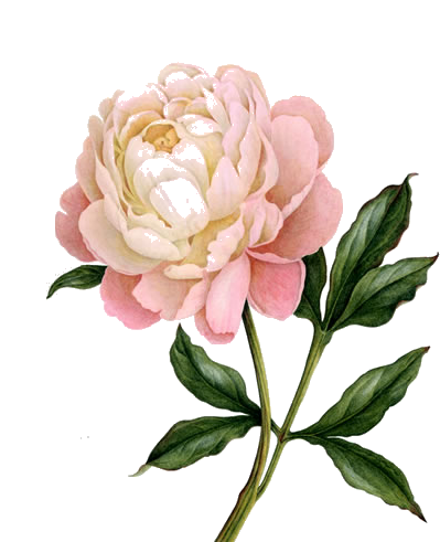 Peony clipart free graphic free stock Download PEONY Free PNG transparent image and clipart graphic free stock