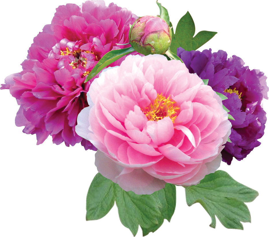 Peony crown clipart jpg freeuse download Download Peonies File HQ PNG Image | FreePNGImg jpg freeuse download