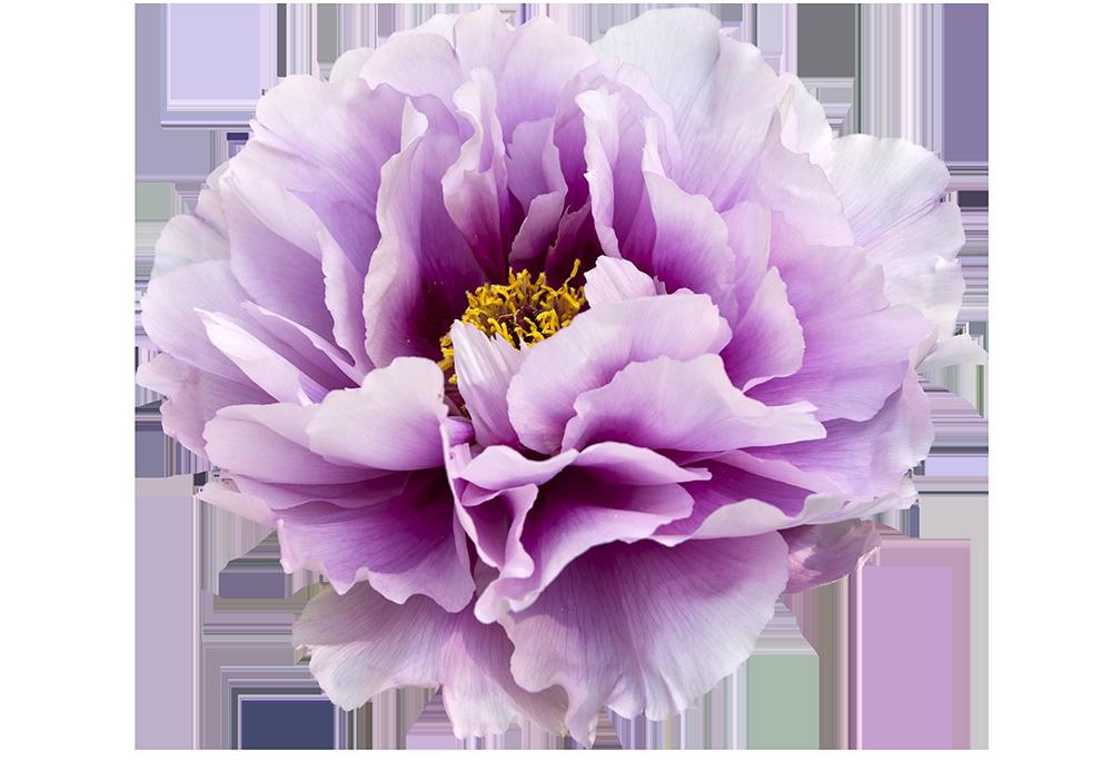 Peony flower clipart picture transparent stock Violet Peony Clip Art Transparent Background - Free Graphics ... picture transparent stock