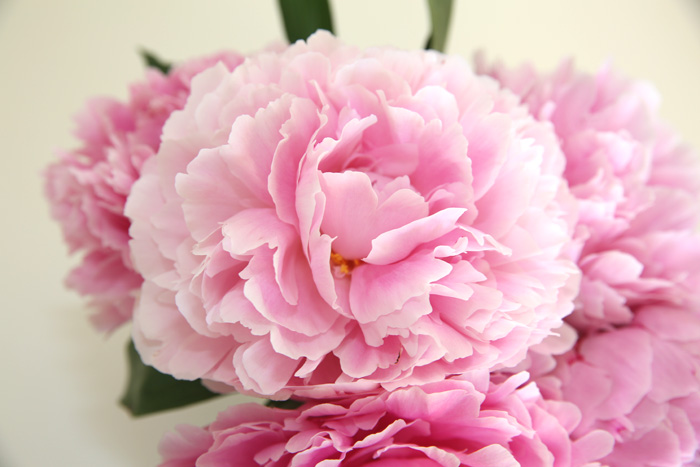 Peony season clip art transparent These Bring Me Immeasurable Joy This Time of Year – Peonies ... clip art transparent