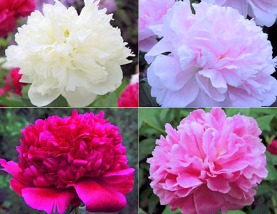 Peony season jpg transparent Peony Season is Finally Here! | Bristol Farms jpg transparent