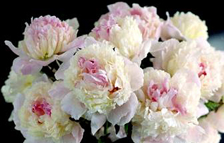 Peony season jpg stock Herbaceous Peonies and Tree Peonies directly from a grower! jpg stock
