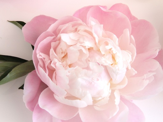 Peony season clip freeuse stock Blooms in Season: June - Sacramento Street clip freeuse stock
