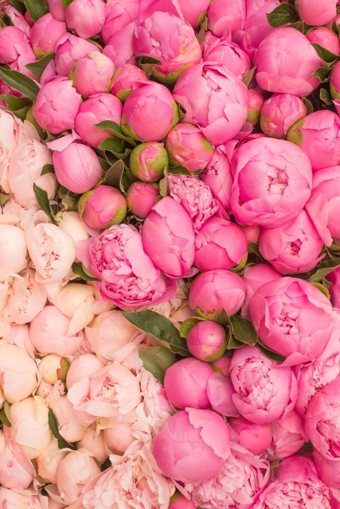 Peony season picture royalty free library 1000+ ideas about Peonies Season on Pinterest | Wedding on a ... picture royalty free library