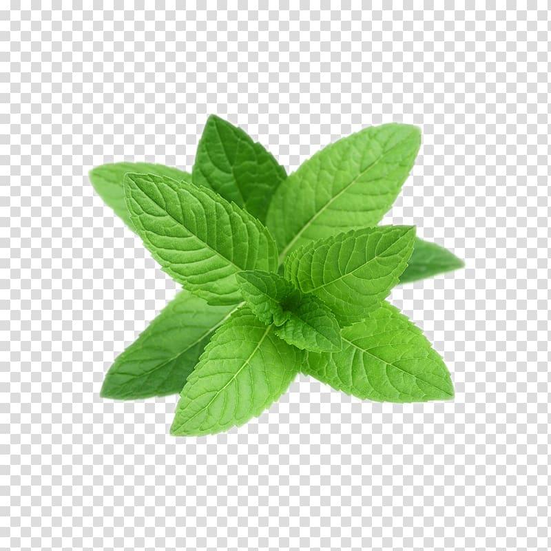 Peppermint plant clipart jpg freeuse stock Tea Peppermint Mentha spicata Wild mint Water Mint, tea ... jpg freeuse stock
