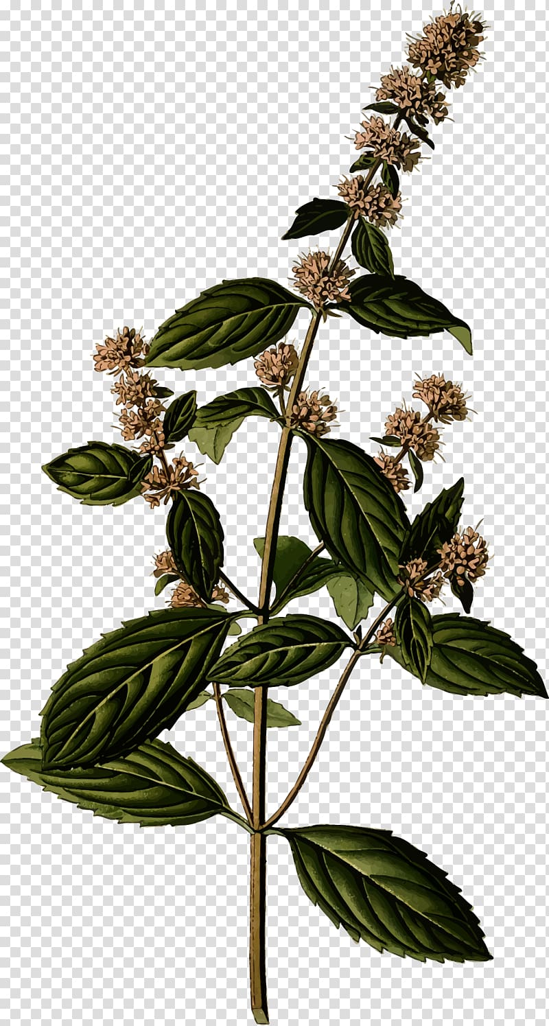 Peppermint plant clipart clipart download Peppermint Mentha spicata Botany Botanical illustration Herb ... clipart download