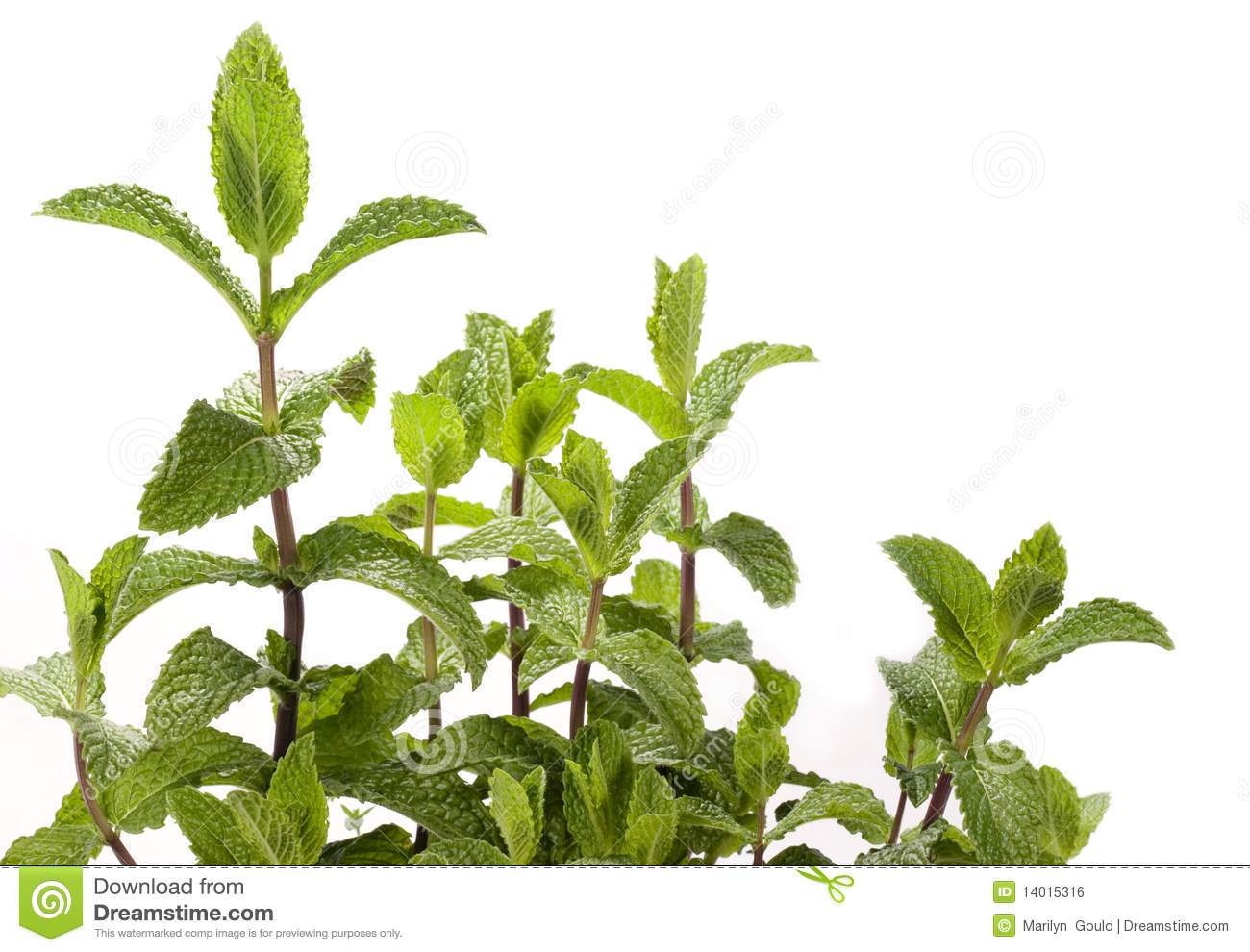 Peppermint plant clipart vector black and white library Mint plant clipart 8 » Clipart Portal vector black and white library