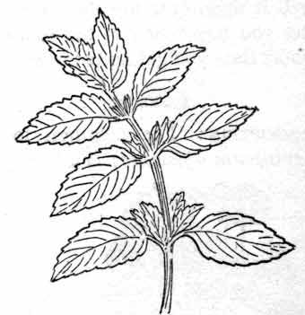 Peppermint plant clipart picture library stock Herbs : peppermint : Classroom Clipart   Flash in 2019 ... picture library stock